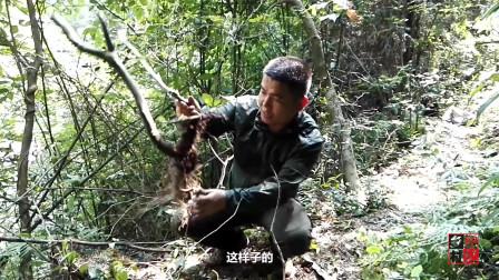 农村小伙挖了一棵映山红树桩,留了细枝却锯了粗技,这是啥套路?