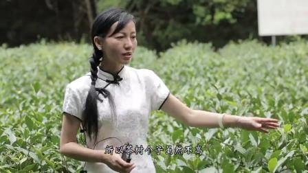 """美女店长介绍马头岩肉桂 岩茶中还有谁比它更有""""性格"""""""