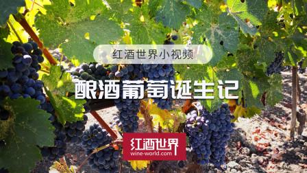 小视频 | 酿酒葡萄诞生记