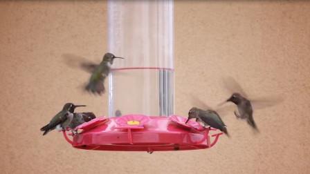 高冷的蜂鸟也没抵住人类的诱惑,一窝蜂的往前凑,只是为了吃口蜂蜜
