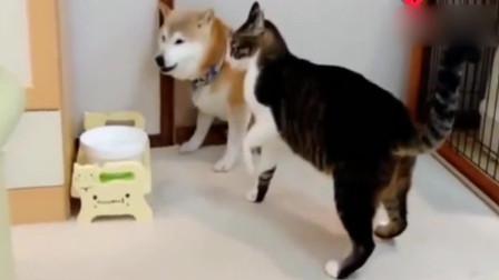 调皮的柴犬欺负喵星人,猫咪生气胖揍一顿,狗子瞬间怂了!
