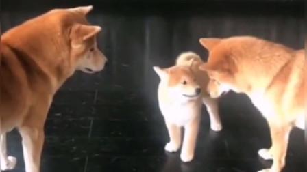 柴犬夫妻教训小柴犬,说两句还敢动起手来,独生子就是不好管!