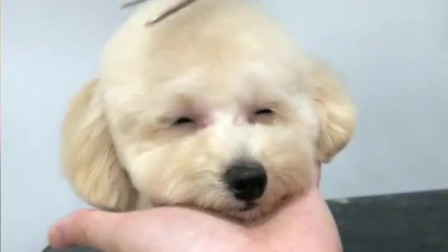 主人给狗子理发,还眯着眼笑,太萌了!