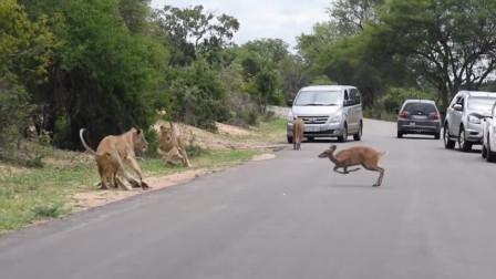 小鹿迫于生活的压力主动投狮自尽,狮子:送上门的快递不要白不要