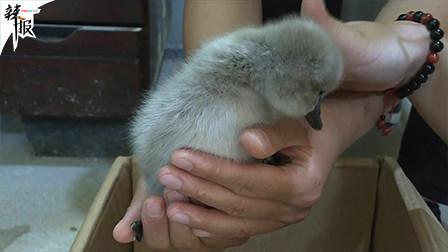 看见就想摸的天鹅宝宝  在这里!