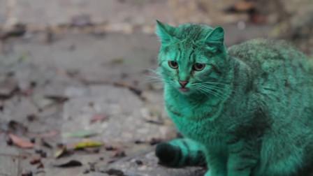 绿色的猫咪见过吗?只因这个原因,从头绿到脚!