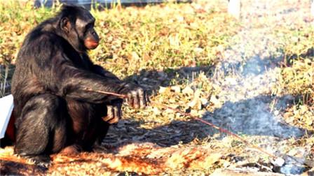 最聪明的大猩猩,从五岁开始自己做饭,不爱香蕉爱撸串