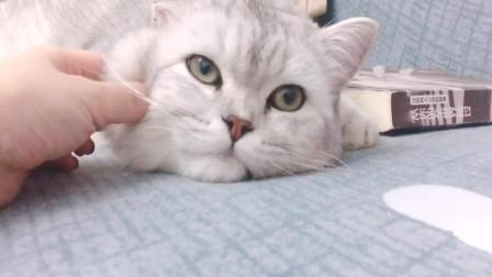 萌宠猫咪:主人你别捏我,我想睡觉,我只想静静当个美猫咪