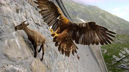 """老鹰空袭山羊,不料聪明山羊使出""""绝招"""",镜头拍下老鹰的惨状"""