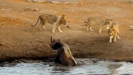 狮子偷袭陷进泥潭的犀牛,不料犀牛强势反击,镜头拍下全过程!