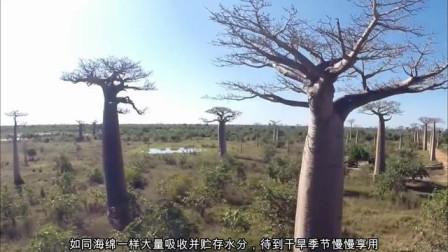 猴面包树不愧是沙漠中的生命之树,既能面包果,还能水分