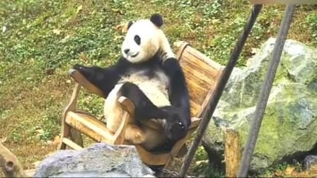 熊猫宝宝:小屁孩也敢坐太师椅,你是要修仙啊,太放肆了