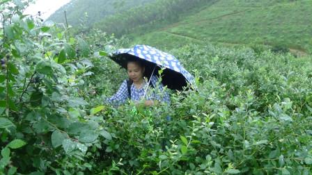 雨中采蓝莓