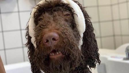 """巨贵犬洗完澡,铲屎官看到不敢认:确定是我的狗?像""""卸了妆""""一样"""