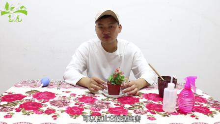 铁海棠如何栽培?教你小妙招,让你的海棠花开满盆,香气扑鼻!