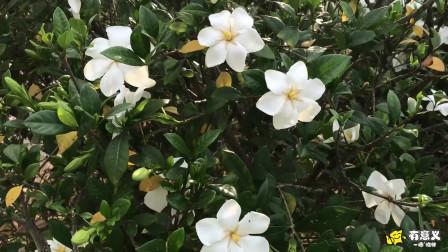 公园里的栀子花张开了雪白的花瓣,吐着柔嫩的芬芳,连空气也变得香甜香甜的!