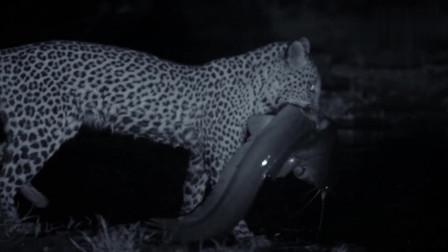 万物皆可烧烤:看非洲大猫花豹站在河边,在等待它的到来