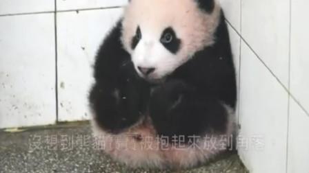 熊猫宝宝妨碍打扫被阿姨抱到角落放好!静静的呆在哪里,太可爱了
