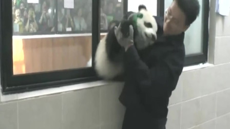 大熊猫宝宝要集体越狱,结果可把饲养员给忙坏了