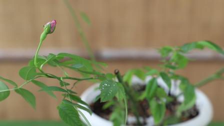 """月季春花后,""""牵拉""""一下,花芽呼呼乱窜,花朵直接爆盆"""