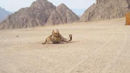 骆驼几周没喝水了,体重减轻40%,一看见水便开始猛喝