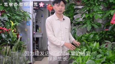 绿萝养殖起来其实并不难,学会这几招就能让它枝繁叶茂