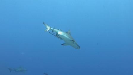鲨鱼圆舞曲