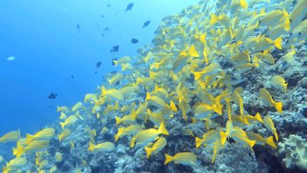 水下摄影海底小黄鱼