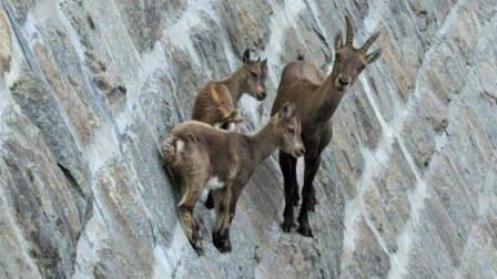 这种羊厉害了,活在悬崖峭壁之上,垂直90°也轻松不在话下