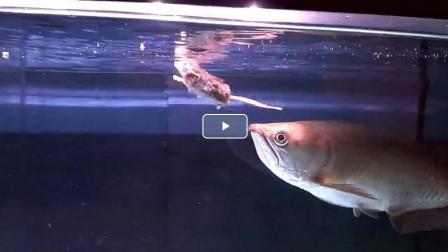 把老鼠扔进鱼缸里,当金龙鱼遇到老鼠时,结果会怎么样?