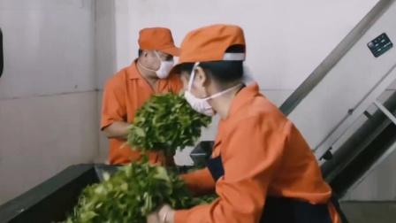 """海南""""白沙""""绿茶的制作过程,海南茶的代表"""