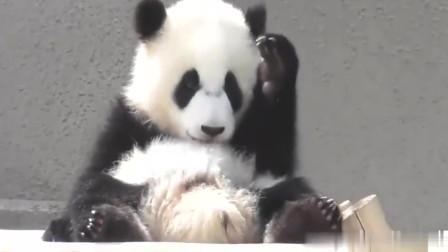 国宝熊猫宝宝卖萌中,小家伙实在太可爱了,就像毛绒玩具一样