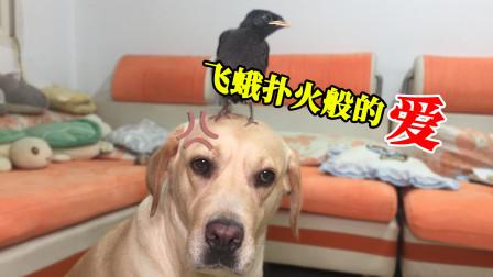 小鸟把狗狗当成妈妈它能否活过这一期跨越物种的亲情能否长久