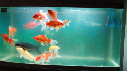 鱼缸中的水用一段时间以后,为什么就需要更换呢?今天算长见识了