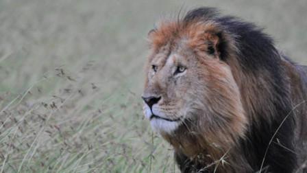 哭笑不得!狮子钻到越野车下乘凉 温顺的像猫