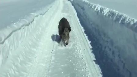 野猪:这辆车惹不起,快溜!