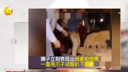 第一时间 辽宁卫视 2019 动保负责人给狮子庆生  蛋糕糊狮脸遭批