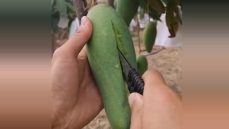 切开一个青芒果,切开后看到这样的果肉,这能吃吗?