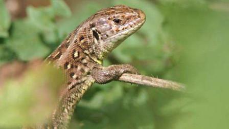 传说中的蜥蜴人真的存在吗?
