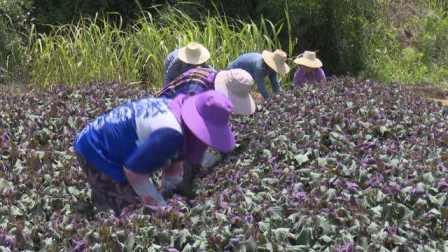 湖?#20808;?#30340;紫苏,能和香菜硬刚的美食,当地人凭它脱贫致富