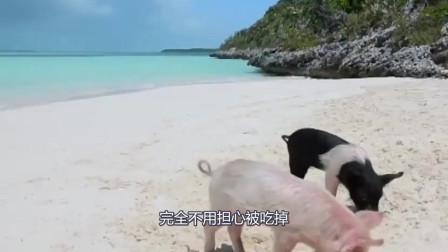 遍地是猪的海岛,这么可爱 烧油起锅一定美味