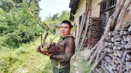 农村小伙发现一棵映山红树桩,费了九牛二虎之力挖出来,值不值?