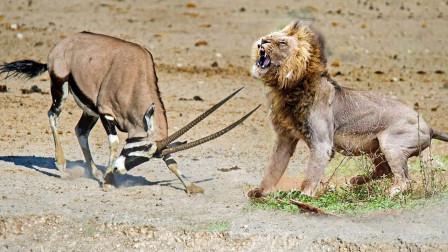 羚羊一转头,发现旁边竟蹲着狮子,下一秒,镜头记录全过程