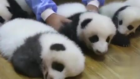 萌宠;奶爸把熊猫宝宝按大小排列,简直是强迫症福利,看了绝对舒坦
