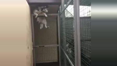 哈士奇成功越狱,一旁的伙伴都看傻眼了