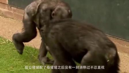 给公猩猩配母猩猩后,没有一刻消停过,不敢看啊!