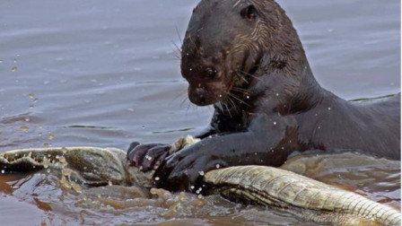 水獭能吃鳄鱼不知道水里它怕谁好期待平头哥能遇见水獭水獭