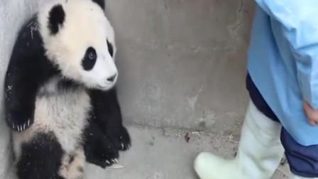 小熊猫生气了,饲养员只一个动作哄好