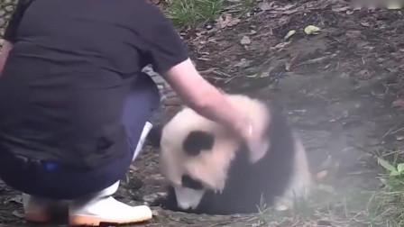 熊猫坐在水坑里,还不停地示意饲养员,做什么呢