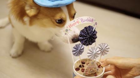 铲屎官给柯基做生日蛋糕,非要唱生日歌才能吃,急汪了